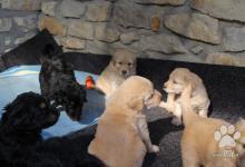 Inzercia psov: Hovawart s PP -  po vynikajících rodičích