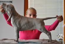 Inzercia psov: Weimarský stavač – volný pejsek s PP