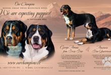 Inzercia psov: veľký švajčiarský salašnícky pes