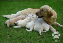 Inzercia psov: Šteniatka Zlatý Retriever s PP