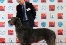 Inzercia psov: Írsky vlkodav