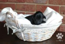 Inzercia psov: Štěňata Flat Coated Retrievera – špičkové spojení!