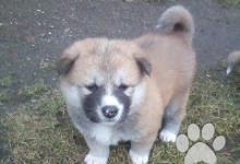 Inzercia psov: Akita-Inu
