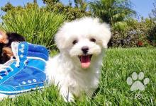 Inzercia psov: T-Cup maltskej Šteňatá