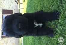 Inzercia psov: Black Boerterrier