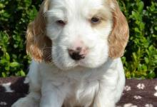 Inzercia psov: Anglický kokeršpaniel s PP