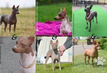 Inzercia psov: AMERICKÝ BEZERSTÝ TERIÉR - nádherný naháček