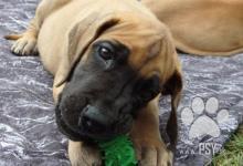 Inzercia psov: Německá doga-štěňátka s PP