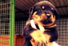 Inzercia psov: Predám šteniatka rotvajlera