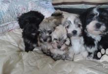 Inzercia psov: Havanský psík na prodej