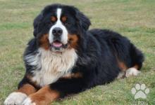 Inzercia psov: Bernský salašnický pes - velmi kvalitní štěňata
