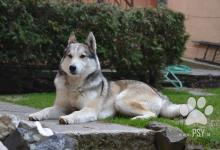 Inzercia psov: Západosibírska lajka s PP