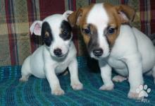 Inzercia psov: Jack Russel terier-predám šteniatka