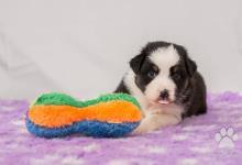 Inzercia psov: Austrálsky ovčiak PP