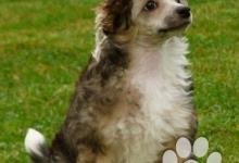 Inzercia psov: Čínský chocholatý pes s PP - osrstěný pes – Fabian