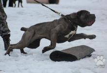 Inzercia psov: Predám šteniatka Cane Corso