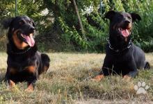 Inzercia psov: Beauceron - rezervácie na šteniatka