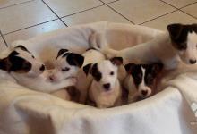 Inzercia psov: Šteniatká Jack Russell terier