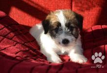 Inzercia psov: šteniatka Jack Russell Terier