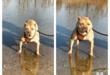 Inzercia psov: Pitbull rednose
