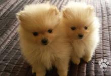 Inzercia psov: Pomeranian šteňatá