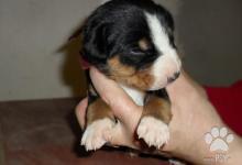 Inzercia psov: Appenzellský salašnický pes s PP