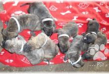 Inzercia psov: Predám amerického pitbulteriéra