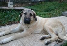 Inzercia psov: Krásne 7 mesačné šteňa Kangala