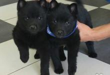 Inzercia psov: Výstavní pejsci - schiperky s PP