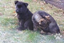 Inzercia psov: Štěňátka německých ovčáků s výborným rodokmenem