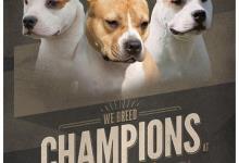 Inzercia psov: Americky stafordsirsky terier s PP