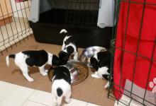 Inzercia psov: Steniatka foxteriera