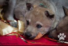Inzercia psov: Zadáme štěňátka Guardians of Love FCI Kennel