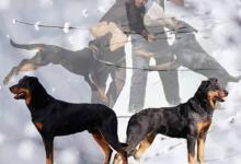 Inzercia psov: Beauceron - štěňata černá s pálením & harleký