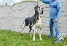 Inzercia psov: Německá doga černá, skvrnitá, merle