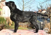 Inzercia psov: Flat Coated Retriever štěňata – Vynikající spojení