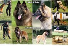 Inzercia psov: Belgický ovčiak - Tervueren, fauve & gris