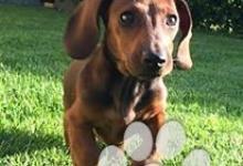 Inzercia psov: šteniatka jazvečíka k odberu k Vianociam