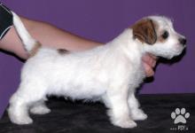 Inzercia psov: Roztomilé štěně Jack Russell teriéra s PP k odběru
