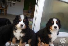 Inzercia psov: prodám štěnátka Bernský salašnický pes