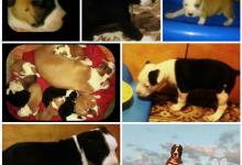 Inzercia psov: Americky staffordshire terrier