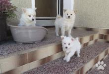 Inzercia psov: Nemecký špic malý