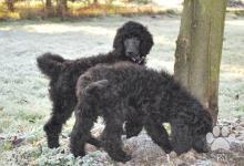 Inzercia psov: Pudl velký černý s PP