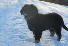 Inzercia psov: Hovawart s PP - ideálny rodinný pes