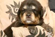 Inzercia psov: Tibetská doga – štěňata