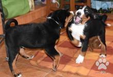 Inzercia psov: Appenzellský salašnický pes - štěňata s PP
