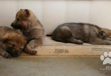 Inzercia psov: Štěňata Československý vlčák s PP