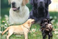 Inzercia psov: Labrador Retriever štěňátka s PP
