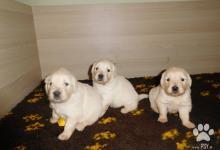 Inzercia psov: Štěňátka zlatého retrívra