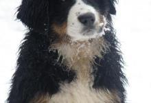 Inzercia psov: CHS nabízí štěňátka s PP - bernský salašnický pes